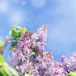 Lilac flowers and bokeh - Stock Photo
