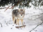 Wild coyote — Stock Photo