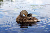 Preening mallard duck — Stock Photo