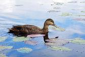 American black duck — Stock Photo