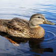 Stock Photo: Mallard duck on lake