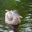 Stock Photo: Mallard duck on green waters