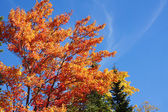 Sugar maple during fall — Stock Photo