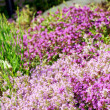 Thyme purple flowers — Stock Photo