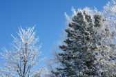 Trees covered in snow with sky — Stock Photo