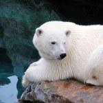 Resting polar bear — Stockfoto