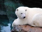 Resting polar bear — Stock Photo