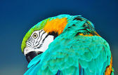 Blue and yellow macaw preening — Stock Photo