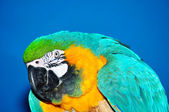 Portrait of blue and yellow macaw — Stock Photo