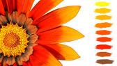 Orange treasure flower color palette — Stock Photo