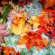 Fall maple leaves on forest floor — Stock Photo