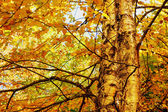 Yellow birch foliage — Stock Photo