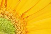 Yellow gerbera flower detail — Stock Photo