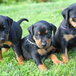 Stock Photo: Miniature Pinscher pupies