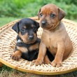 Stock Photo: Miniature Pinscher puppies