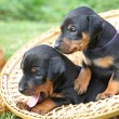 The Miniature Pinscher puppies — Stock Photo #12096086