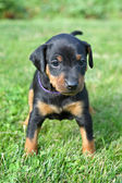 The Miniature Pinscher puppy, 1 months old — Stock Photo