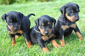 Den miniatyr pinscher pupies — Stockfoto