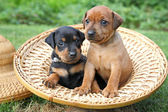 The Miniature Pinscher puppies — Zdjęcie stockowe