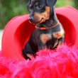 The Miniature Pinscher puppy, 1,5 months old — Stock Photo #12213853