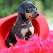 The Miniature Pinscher puppy, 1,5 months old — Stock Photo #12213855