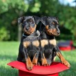The Miniature Pinscher puppies, 1,5 months old — Stock Photo