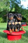 The Miniature Pinscher puppies, 1,5 months old — Zdjęcie stockowe