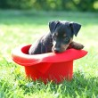 The Miniature Pinscher puppy — Stock Photo #12560973