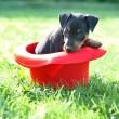 The Miniature Pinscher puppy — Stock Photo