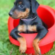 The Miniature Pinscher puppy — Stock Photo