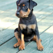 The Miniature Pinscher puppy — Stock Photo #12560982