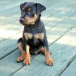 Stock Photo: The Miniature Pinscher puppy