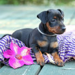 The Miniature Pinscher puppy — Stock Photo #12564447