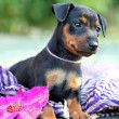 The Miniature Pinscher puppy — Stock Photo #12564451