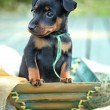 The Miniature Pinscher puppy — Stock Photo #12564457