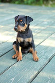 Le chiot pinscher nain — Photo