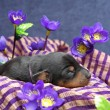 Stock Photo: miniature pinscher puppy
