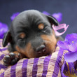 Miniature Pinscher puppy — Stock Photo #12826380