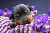 微型 pinscher 小狗 — 图库照片