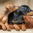 Miniature Pinscher puppies — Stock Photo