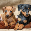 Постер, плакат: Miniature Pinscher puppies