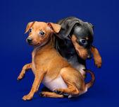 Miniature Pinscher puppies — Stock Photo