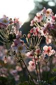 Anemona on sun — Стоковое фото
