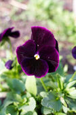 Dark pansy in garden — Stock Photo