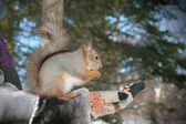 Squirrel — Foto de Stock
