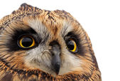 Short-eared Owl — Stock Photo