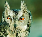 Collared scops-owl — Stock Photo