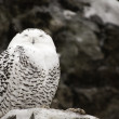 Snowy Owl — Stock Photo #18642295