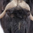 Stock Photo: Musk-ox