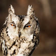 Collared scops-owl - Stock Photo